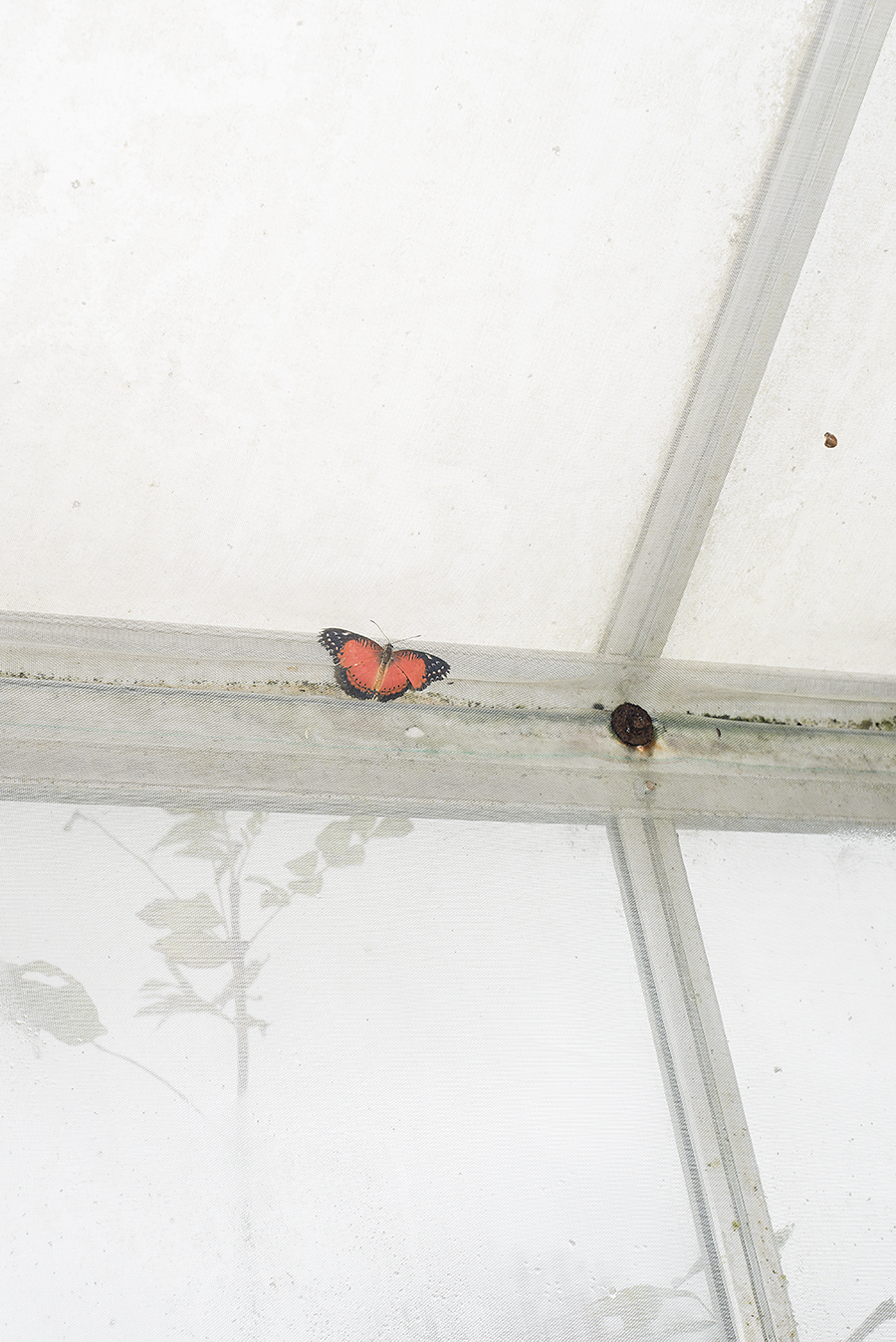 13_CHARAXES IMPERIALIS